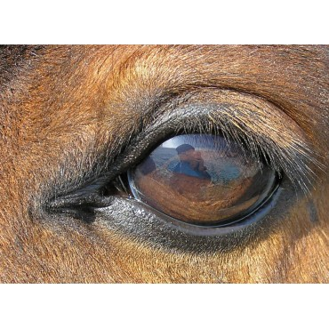 Equine Ophthamology
